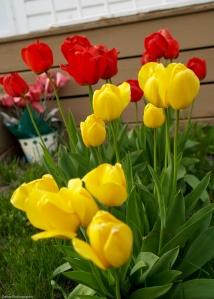 2009 Spring Tulip
